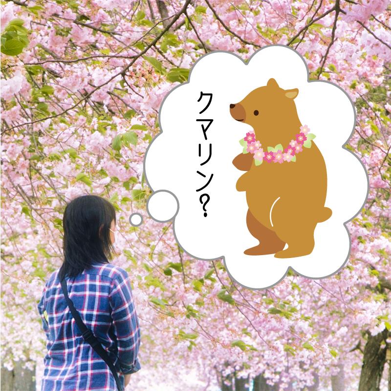 sakura-kaori02
